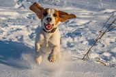 The Beagle Runs In The Snow. Puppy In Nature. Hunting Dog Running Through The Woods. Thoroughbred Pu poster