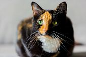 Beautiful Calico Tortoiseshell Tabby Cat Sitting On A Couch poster