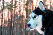 Portrait Beautiful Siberian Husky With Snow On His Muzzle. Husky Dog  With Blue Eyes Walks In Suunny poster