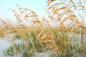 pic of sea oats  - Sea Oats in the breeze on dunes at the beach - JPG