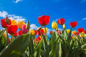 Spring Blooming Tulip Field. Flowers Tulips, The Symbol Of The Netherlands. Red Tulips And Blue Sky, poster