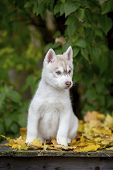 Beautiful Fluffy Husky Puppy Sitting On A Background Of Green Leaves. Age 3 Months poster