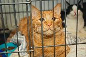 Beautiful Red Cat In A Cage Shelter For Homeless Animals poster