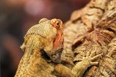 Cute Bearded Dragon Sitting On A Wooden Branch And Looking In The Camera With Vigilance. Great Portr poster