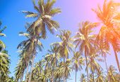 Tropical Landscape With Palm Trees. Coco Palm Tree Top With Orange Sun Flare. Palm Tree Crown With G poster