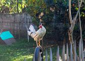 White Rooster On Fence. White Rooster In Sunny Village Yard. Beautiful Feathers Of Rooster. Rooster  poster