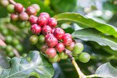 Coffee Beans On The Branch In Coffee Plantation Farm. Arabica Coffee. Coffee Beans Ready To Pick. Fr poster