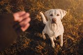 Young Labrador Retriever Dog Puppy Pet With Big Eyes Eating Delicious Food Given To Him By Person Ou poster