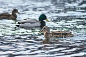 Natural Background: Lots Of Ducks And Drakes On The Water poster