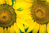 Two Sunflowers With Pollen And Bright Yellow Leaves. Close-up Of Petals And Pollen Of Bright Yellow  poster