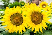 Two Sunflowers With Pollen And Bright Yellow Leaves.the Garden Of Sunflower With Pollen And Bright Y poster