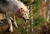 Close Up Image Of A Gray Wolf, Or Timber Wolf poster