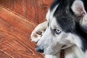 Siberian Husky Lies On Wooden Floor Curled Up, Close-up. Black And White Cute Male Dog With Blue Eye poster