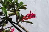 Pink Flower With Green Leaves On White Wall Background. Blooming Tropical Garden Detail. Bright Pink poster