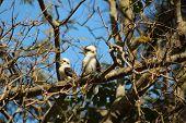 picture of kookaburra  - A couple of kookaburra spotted in the tree - JPG