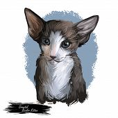 Oriental Bicolor Kitten Digital Art Illustration. Watercolor Portrait Of Kitty From Usa. Playful Ame poster