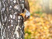 Autumn Squirrel Climbs Up A Tree Trunk. Curious Cute European Red Squirrel Climbs Up The Trunk Of A  poster