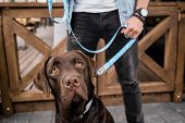 Muzzle of cute brown purebred labrador looking upwards in front of camera on background of his owner poster