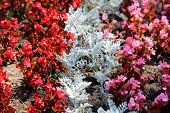 Rows Of Red And Pink Begonia Flowers Planted Around Silver Dust Dusty Miller Or Senecio Cineraria Si poster