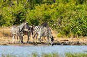 Zebras In African Bush On Waterhole. Moremi Game Reserve, Botswana, Africa Safari Wildlife poster