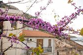 stock photo of judas tree  - branch of Judas Tree covered with flowers - JPG