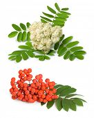 Rowan berry and flowers (mountain ash, Sorbus aucuparia) on a white background