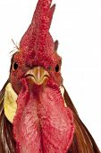 picture of leghorn  - Portrait of Rooster Leghorn - JPG