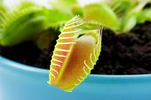 picture of flytrap  - Blue pot with Dionaeaalso known as flytrap in closeup