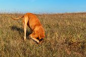 Dog Hunts Mouse. Hungarian Hound (vizsla) Hunting. Dog Burrows In Clay. Sunny Autumn Evening. poster