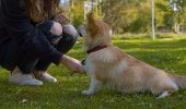 Corgi And Its Owner On The Grass In The Park. Clever Dog Giving Her Paws poster