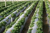 image of gleaning  - cultivation of strawberries - JPG