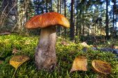 stock photo of bolete  - Bolete mushroom  - JPG