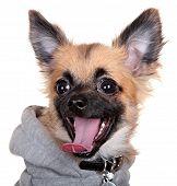 pic of seeing eye dog  - little dog isolated on white background - JPG
