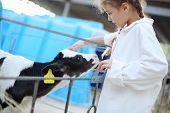 Pretty little girl in white robe strokes small cute calf at cow farm.