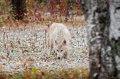 Blonde Wolf (Canis Lupus) Prowls In Early Autumn Snowfall