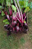 A Crate Of Organic Grown Beetroot