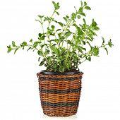 picture of origanum majorana  - fresh flavoring herbs oregano in brown wicker basket flowerpot isolated on white background  - JPG