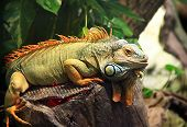 stock photo of lizard skin  - Bright monitor lizard with orange crest on the geen background