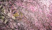 Magnificent painting like view of spring cherry blossoms.
