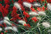 stock photo of fountain grass  - Spring Garden with Close Up of Fountain Grass - JPG