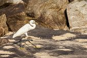 Little Egret (Egretta garzetta) - small white heron, India