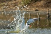 Caspian Tern Making A Splash