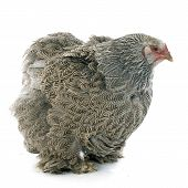 pic of brahma  - brahma chicken in front of white background - JPG