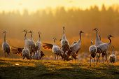 Group Of Cranes At Sunrise In Morning Light