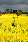 picture of biodiesel  - A bright yellow Canola or Rapeseed crop used for foodstuffs or biodiesel - JPG