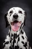 Dalmatian dog on black