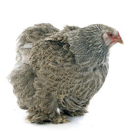 image of brahma  - brahma chicken in front of white background - JPG