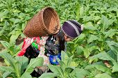 foto of hmong  - Hmong of Asia harvests tobacco agriculture in traditional clothes - JPG