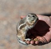 stock photo of chipmunks  - Wild chipmunk in persons hand eating food - JPG