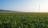 foto of turnips  - Turnip growing on a foggy field at dawn - JPG